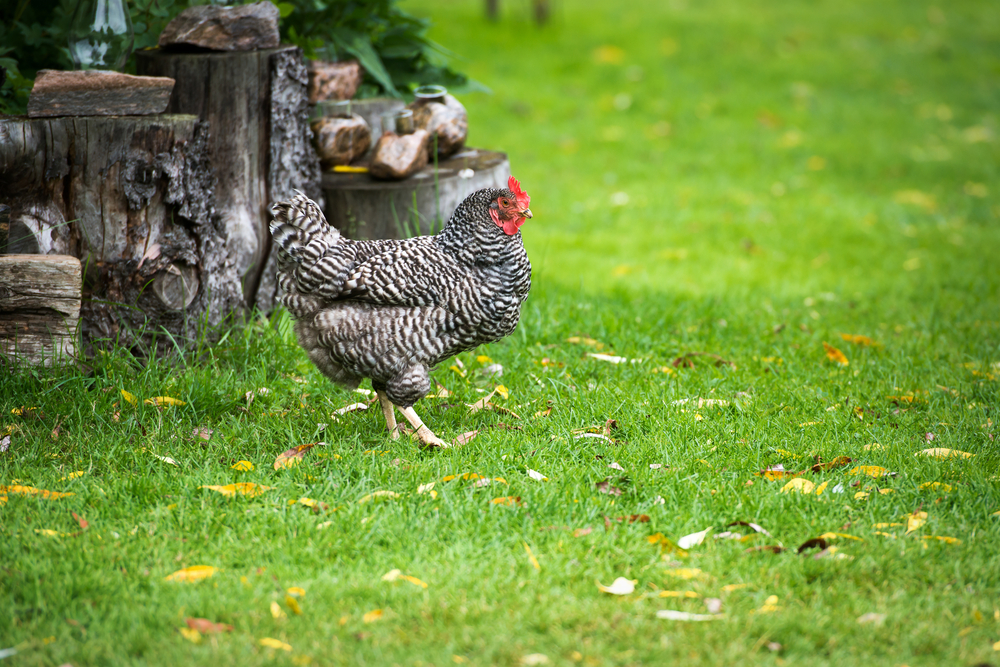 how to raise dominique chickens in your backyard