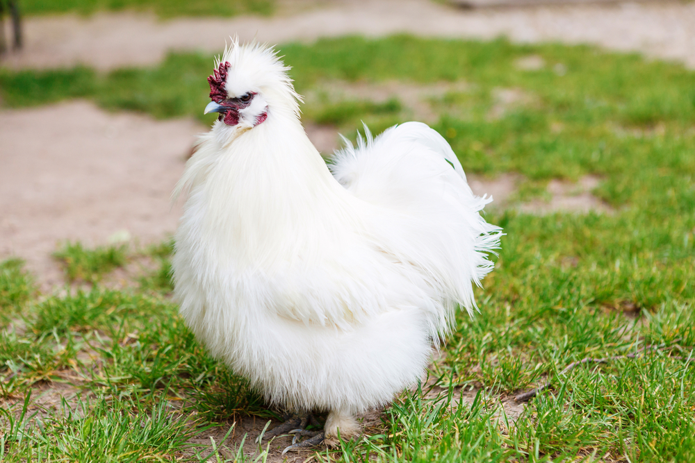 silkies chickens silkie chicken facts chickencoopguides com